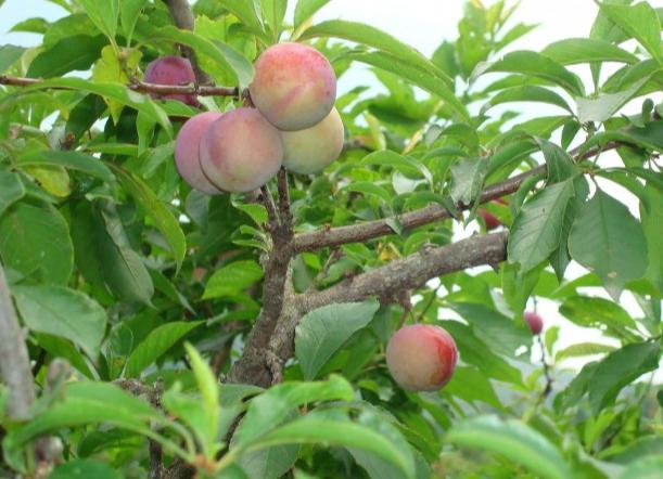 生鲜水果桃